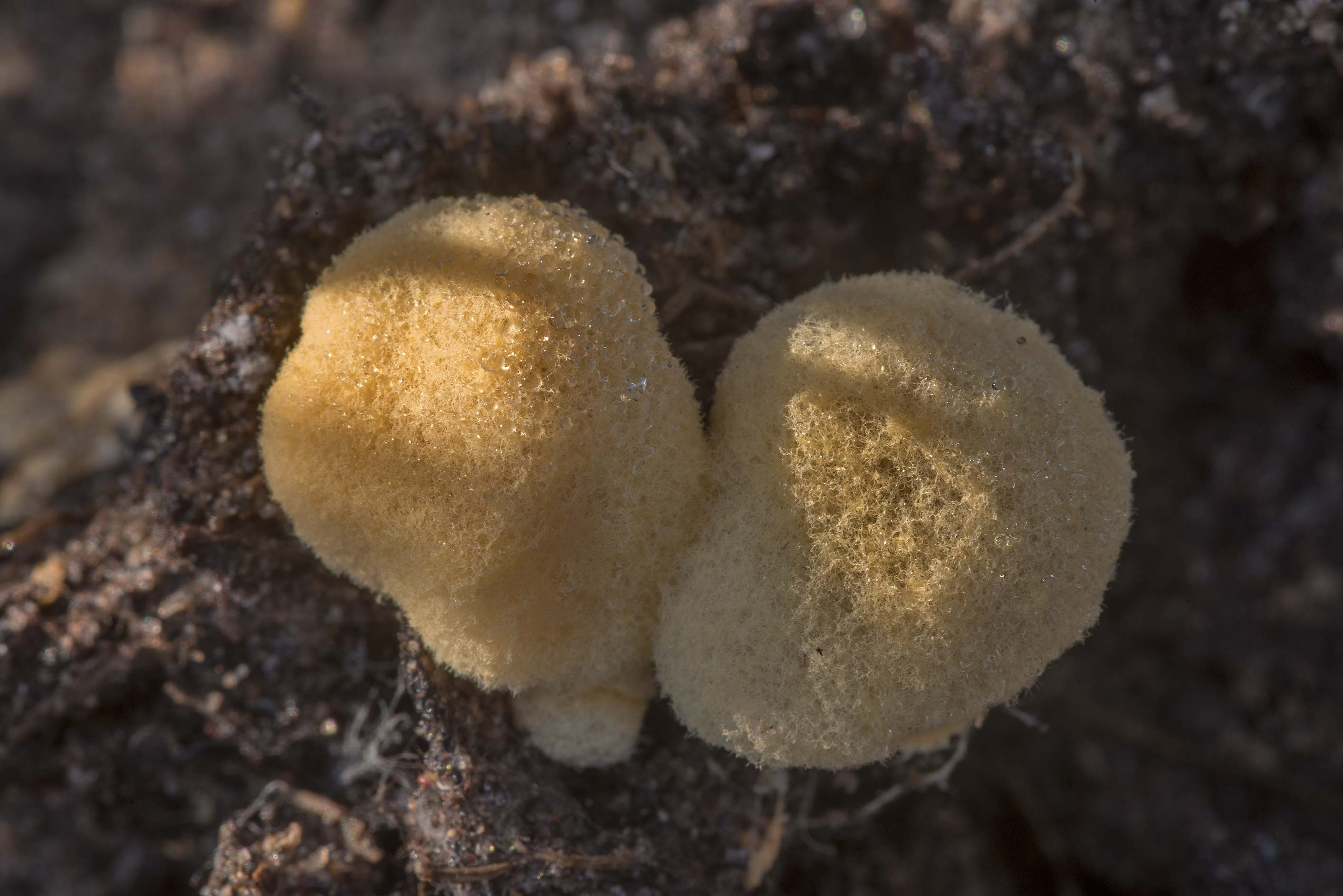 Yellow woolly surface of small gasteroid...in Sam Houston National Forest. Texas