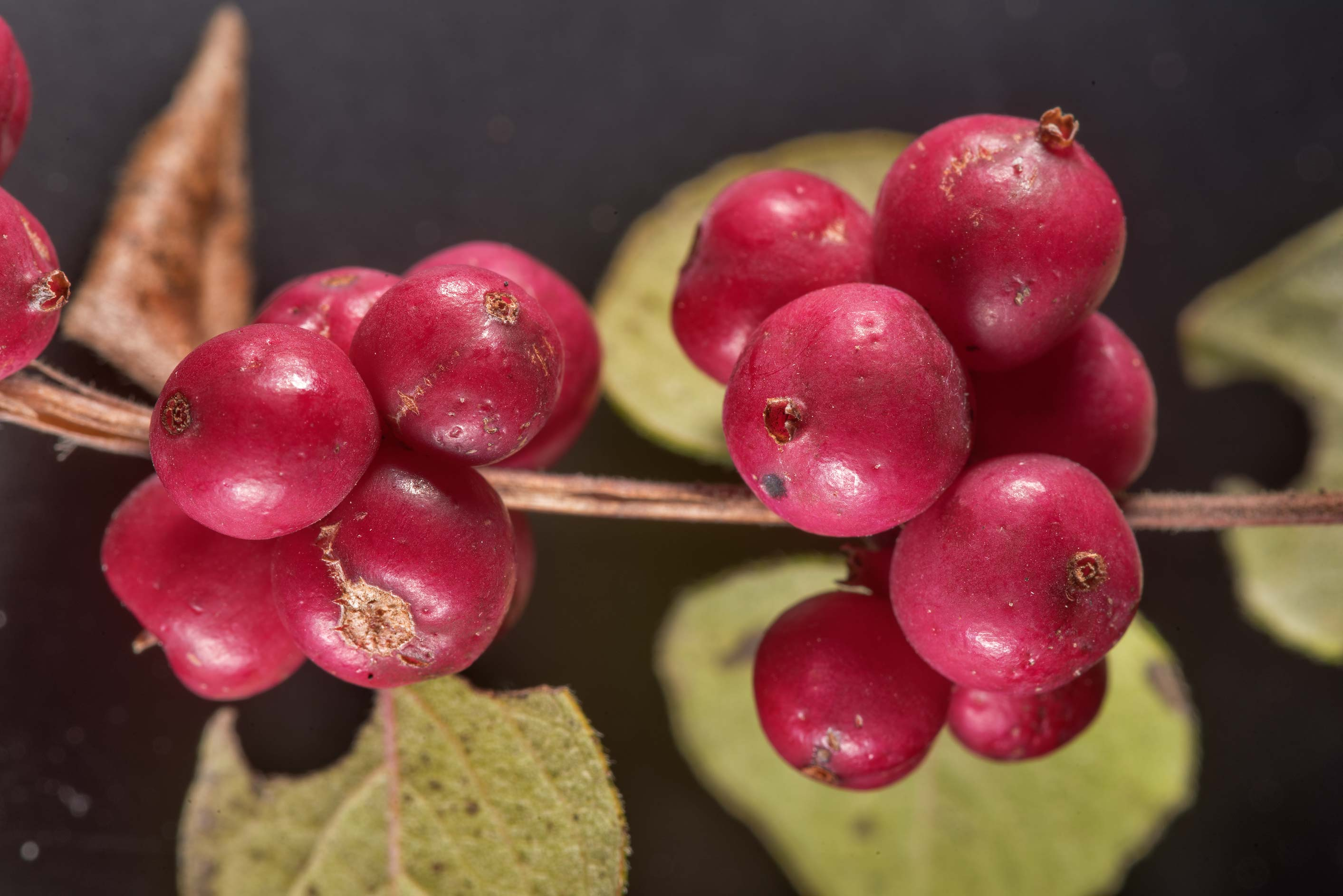 Close-up of coralberry (Symphoricarpos...Bee Creek Park. College Station, Texas