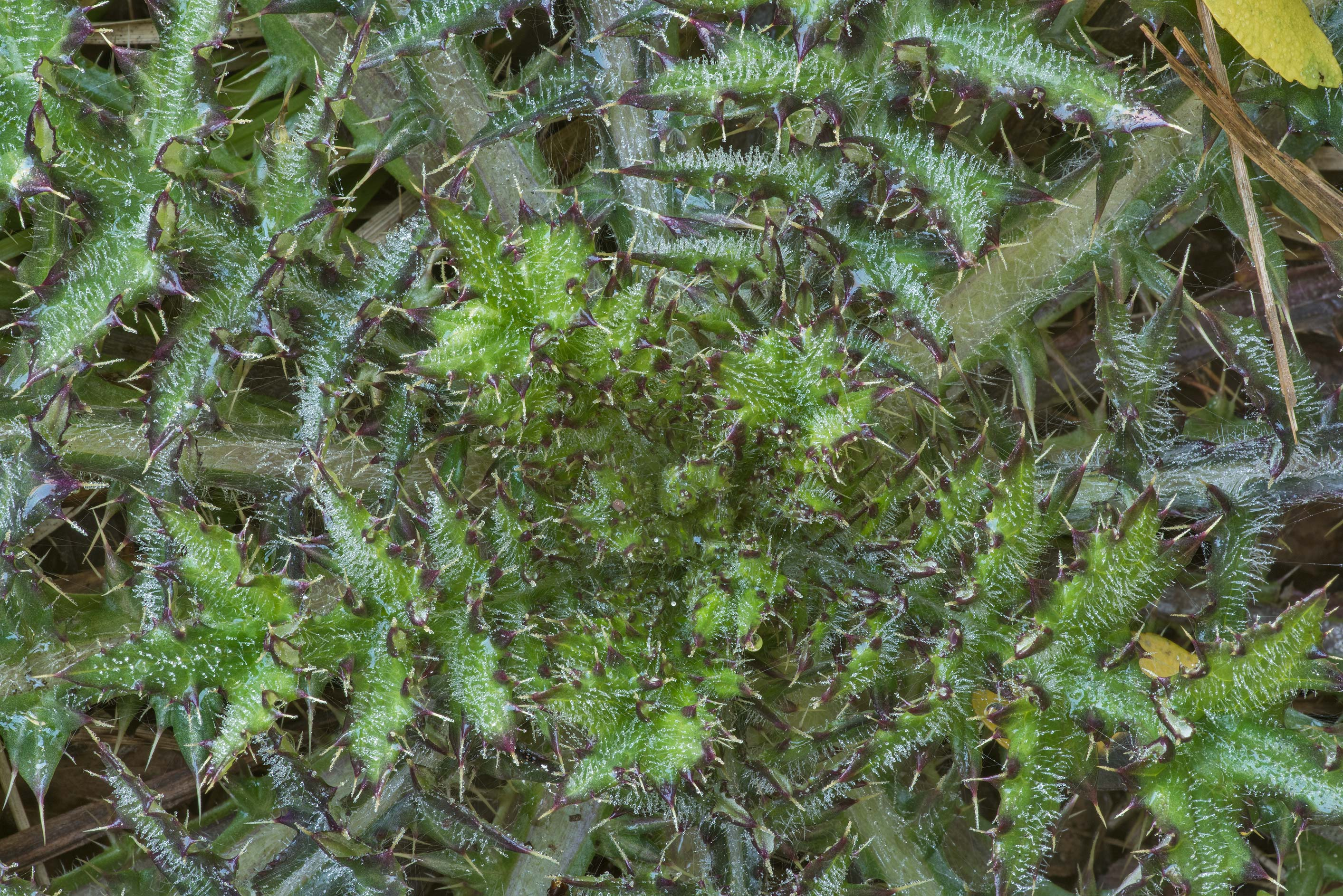 Winter rosette of leaves of thistle (Cirsium) in Lick Creek Park. College Station, Texas