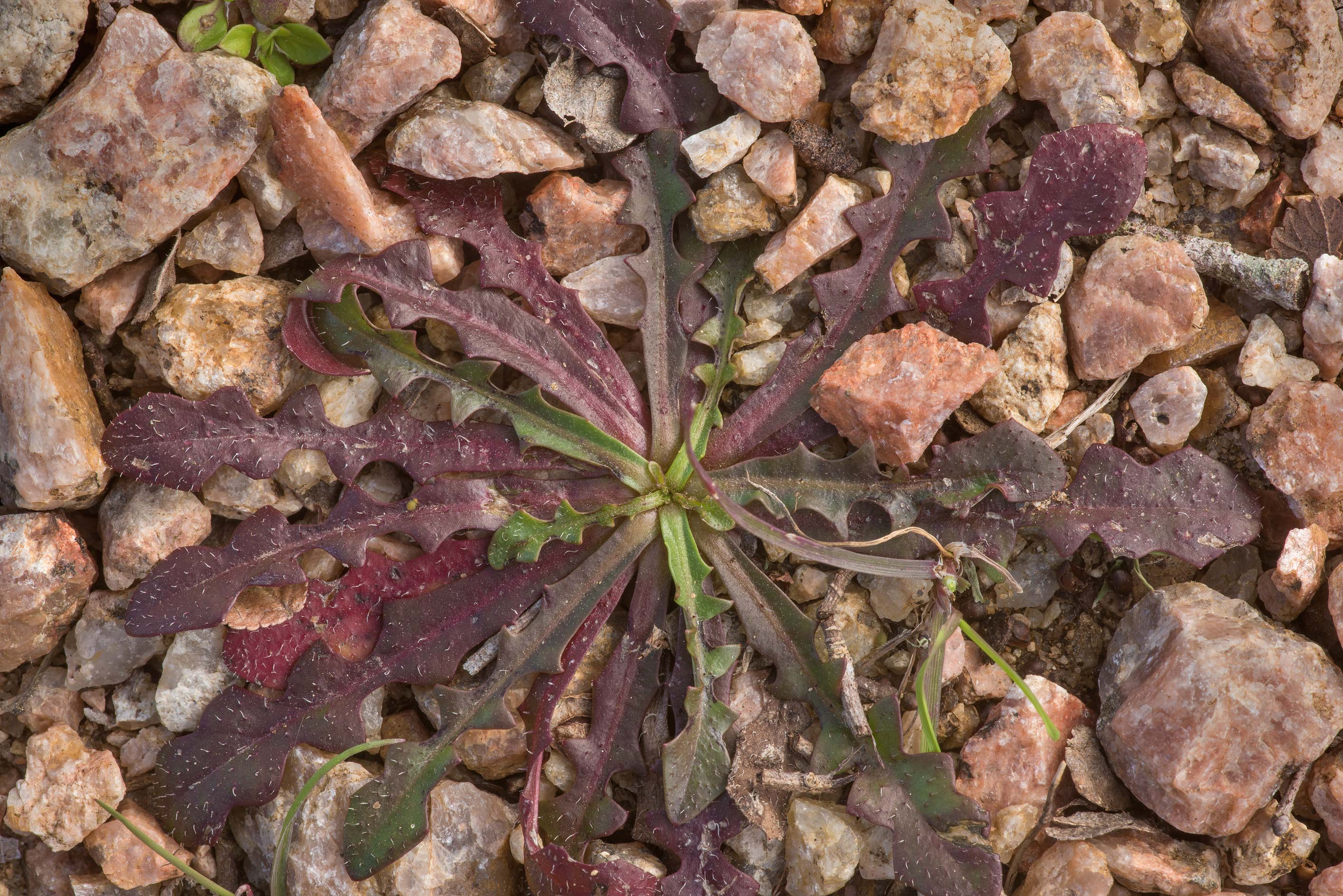 Rosette of leaves of Texas dandelion...State Historic Site. Washington, Texas