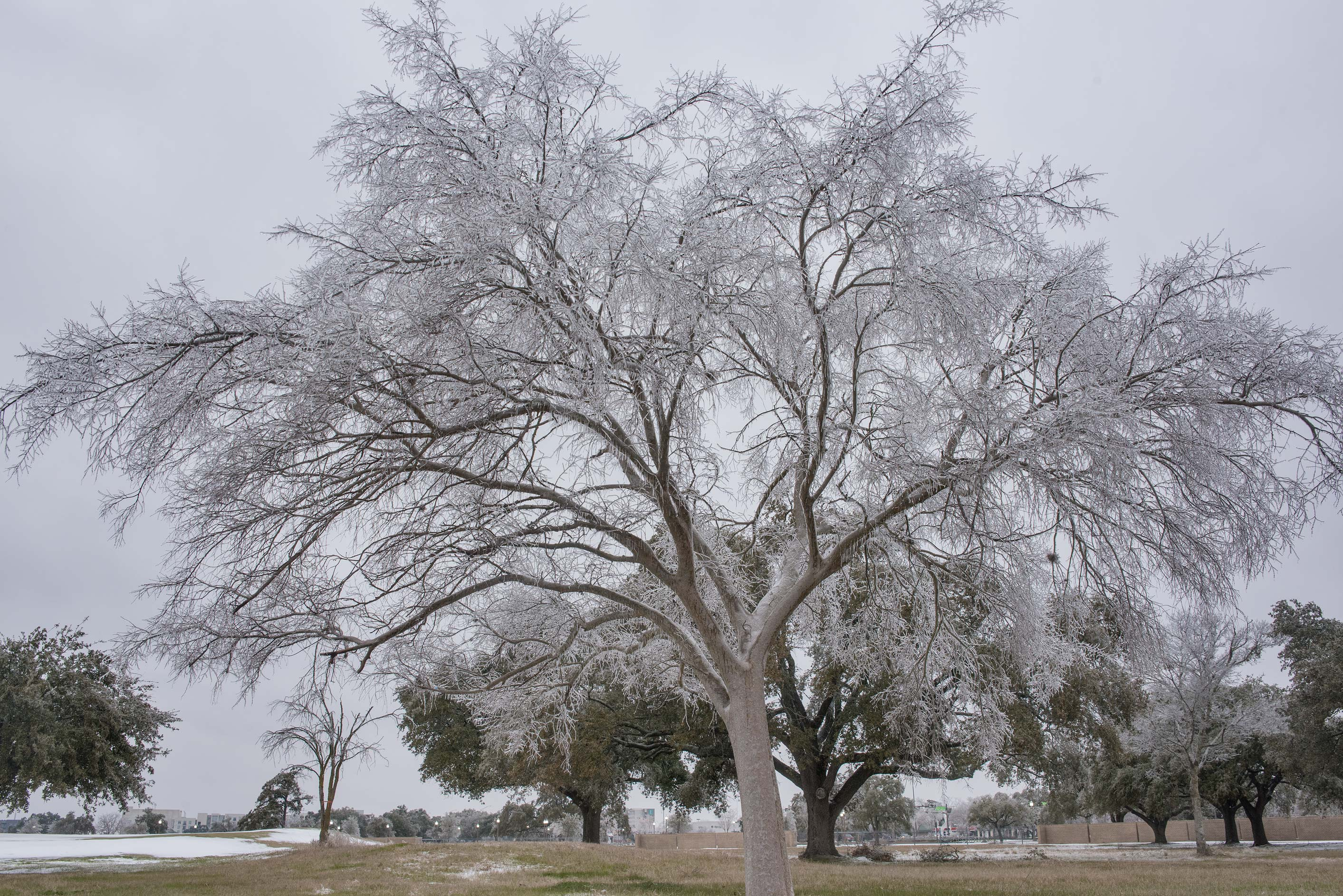 Ice covered tree on a golf course on campus of...M University. College Station, Texas