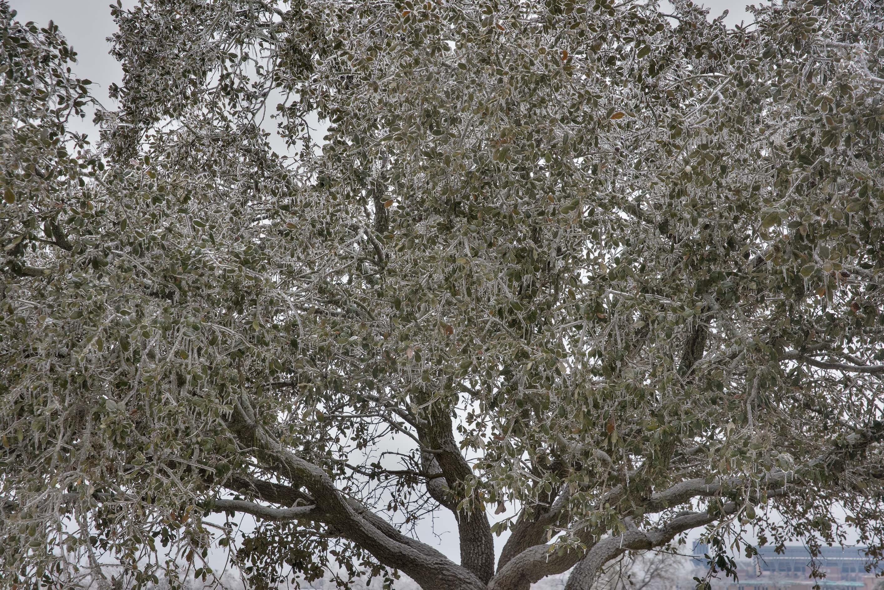 Icy live oak tree on a golf course on campus of...M University. College Station, Texas