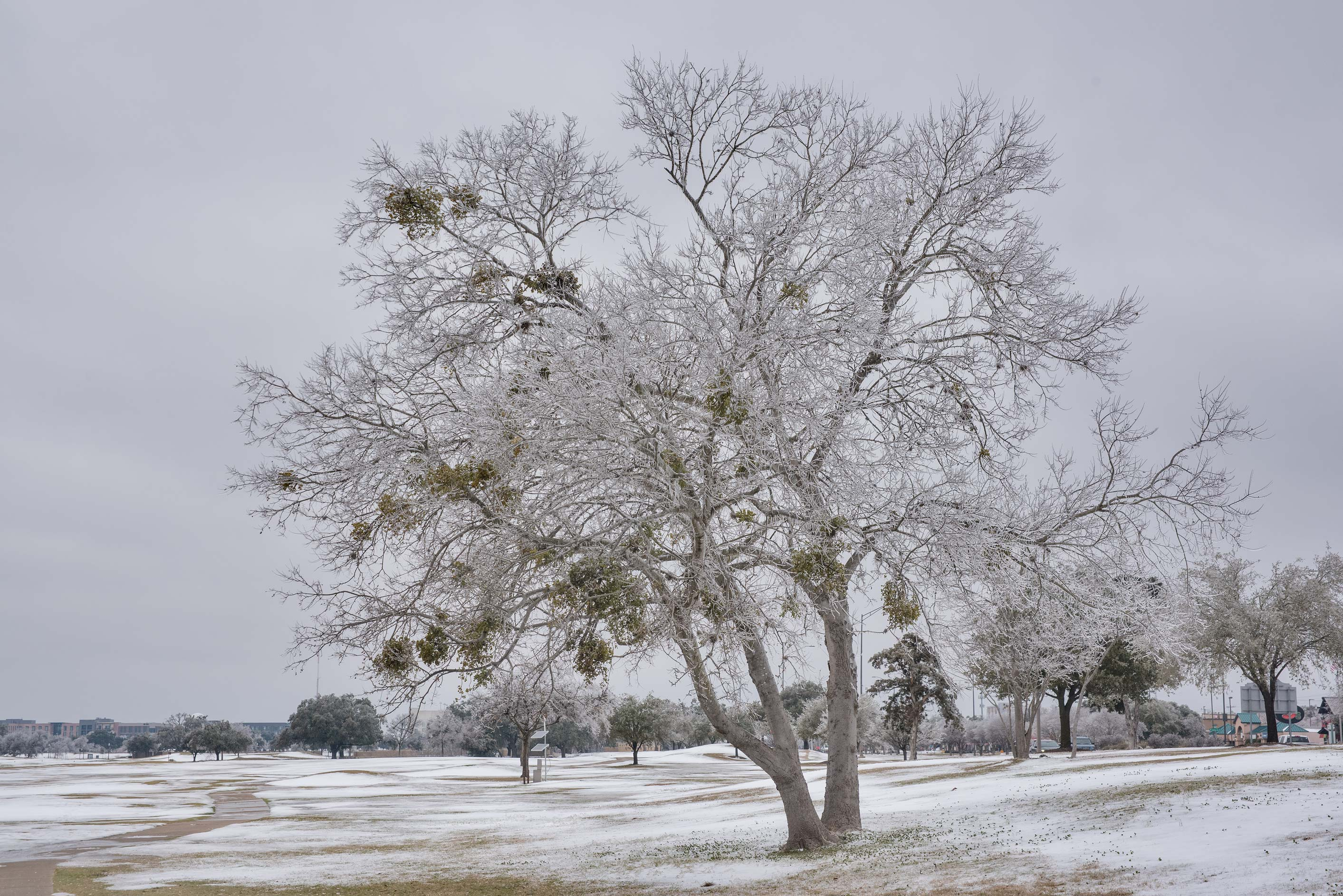 A tree glzed by ice on a golf course on campus of...M University. College Station, Texas