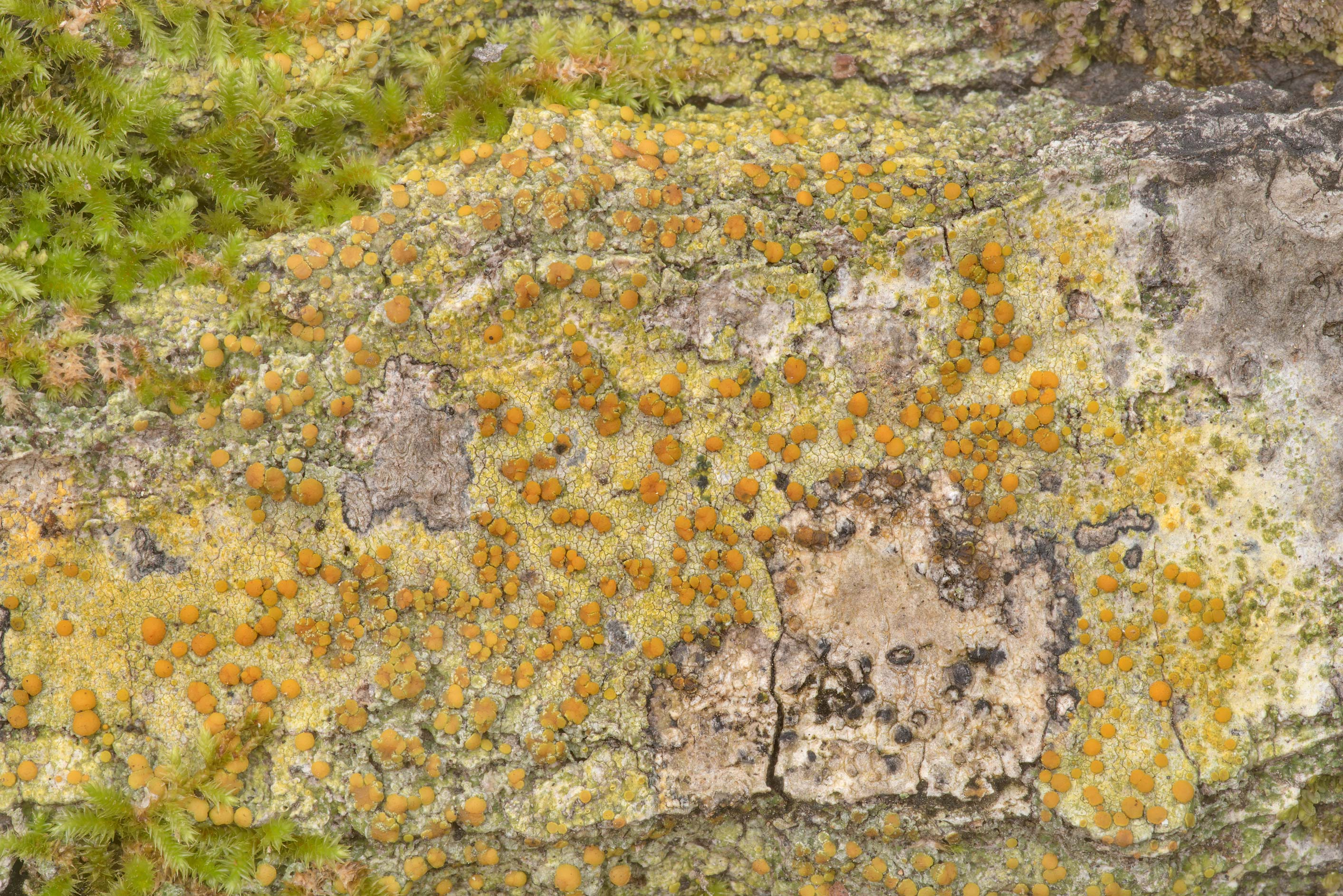 Apothecia of bark sulphur-firedot lichen...Forest north from Montgomery. Texas