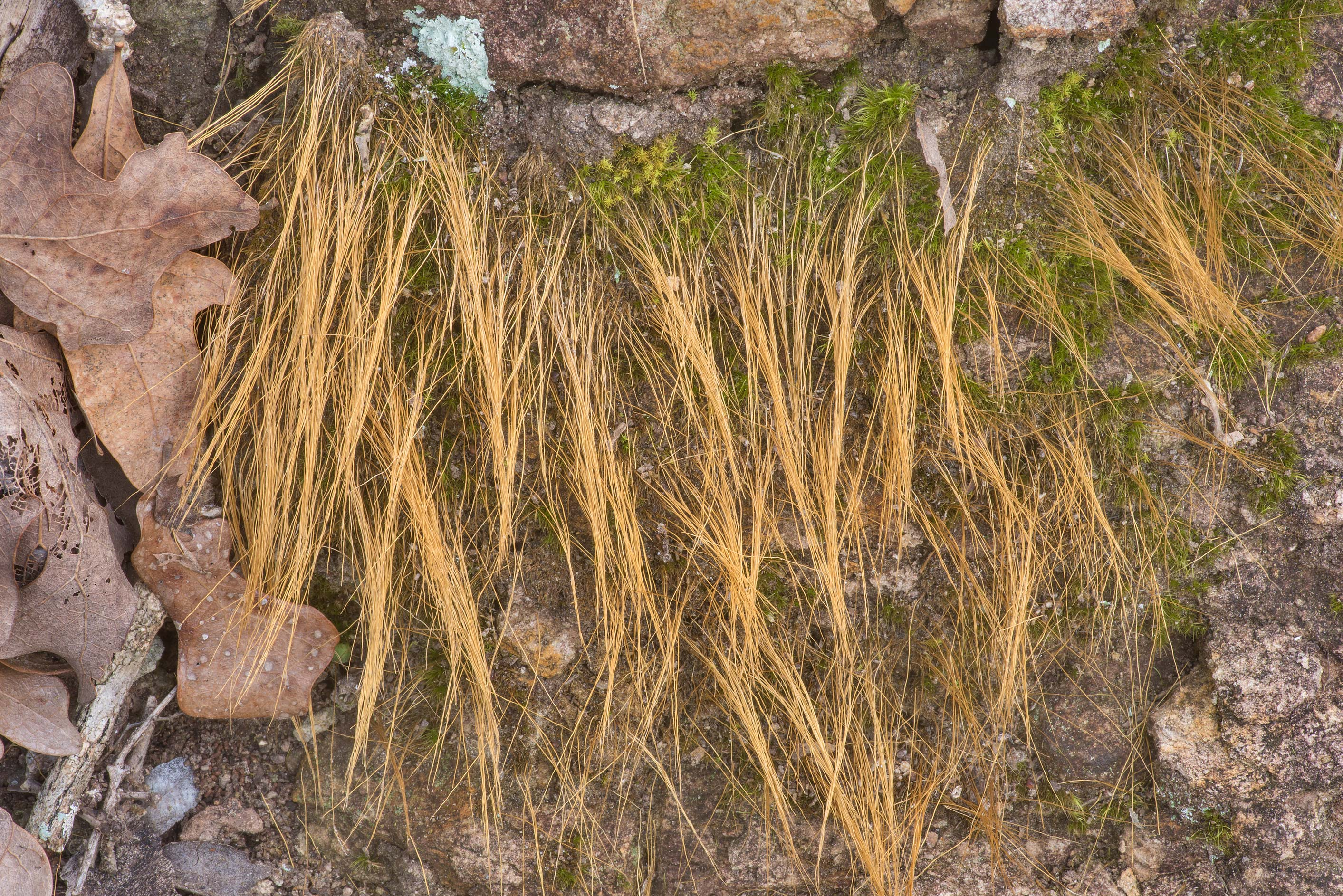 Some moss with long hair-like filaments on a...of Somerville Lake State Park. Texas