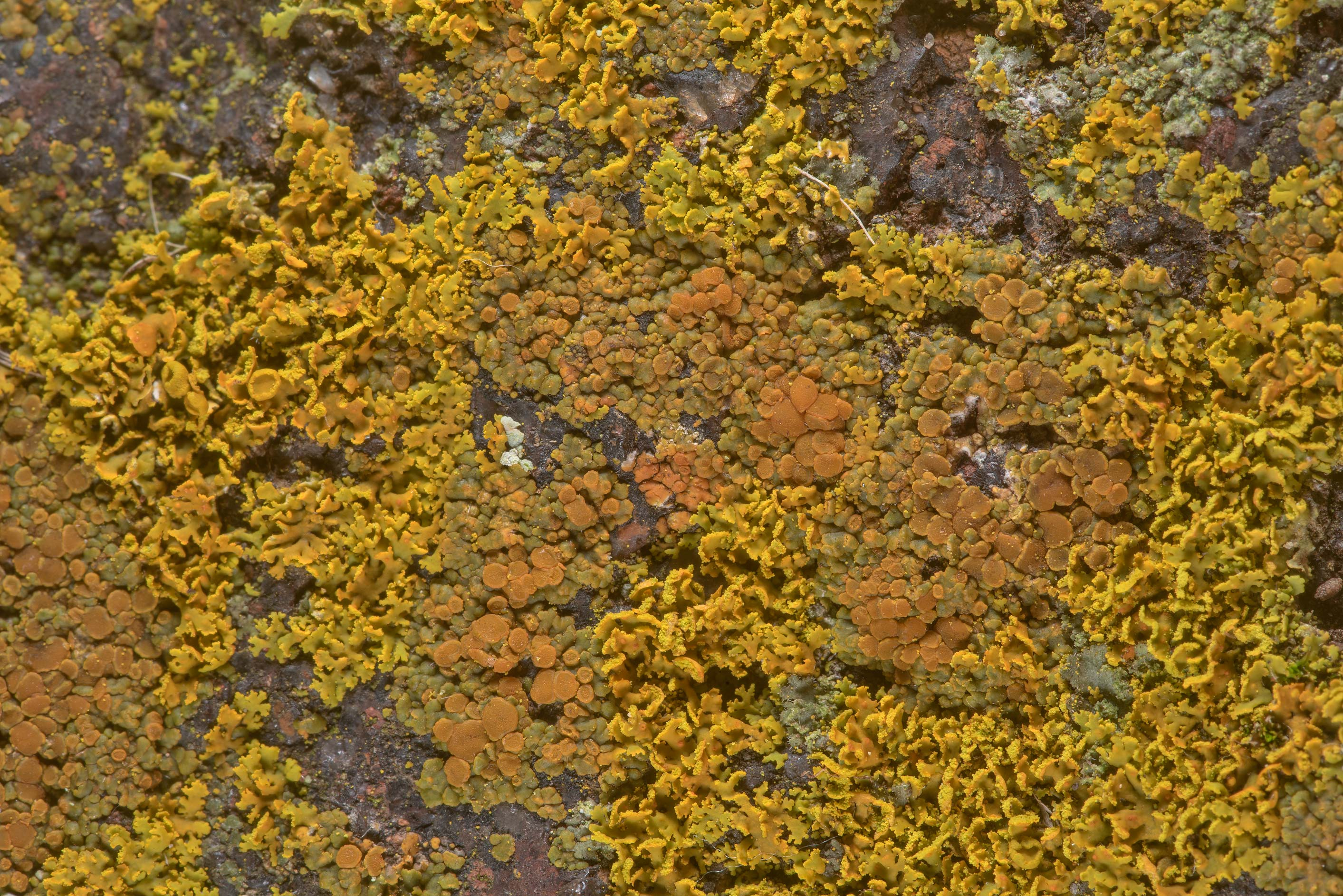 Various orange lichens on sandstone of Lost Pines...in Bastrop State Park. Bastrop, Texas