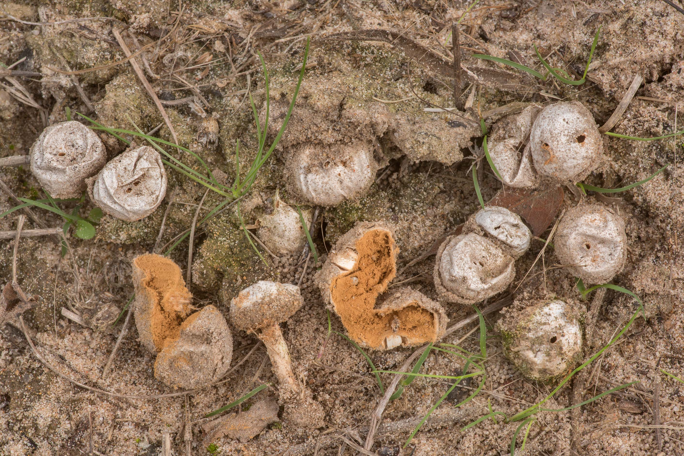 Masses of stalked puffball mushrooms Tulostoma...in Bastrop State Park. Bastrop, Texas