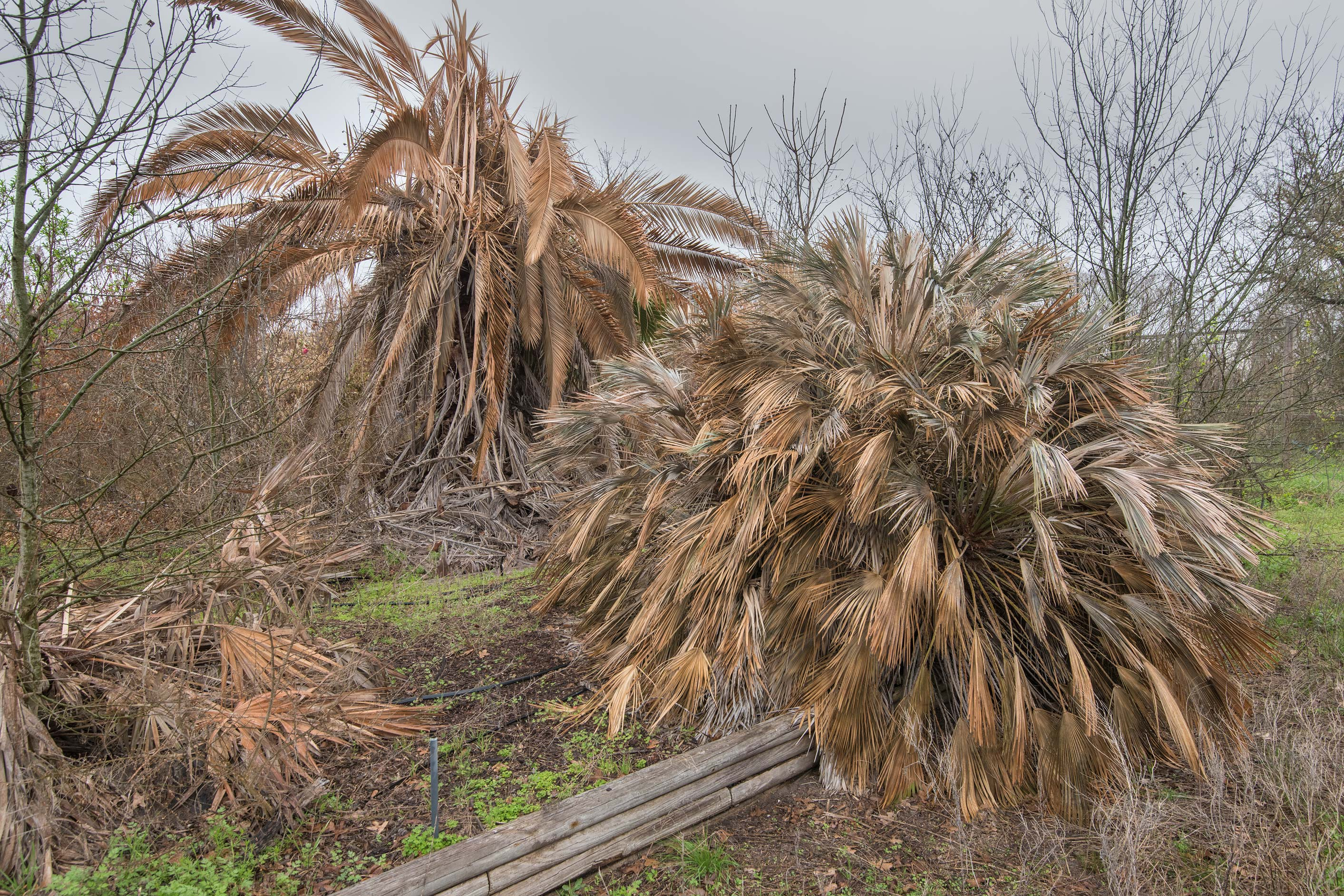 Dry palms in TAMU Horticultural Gardens in Texas...M University. College Station, Texas