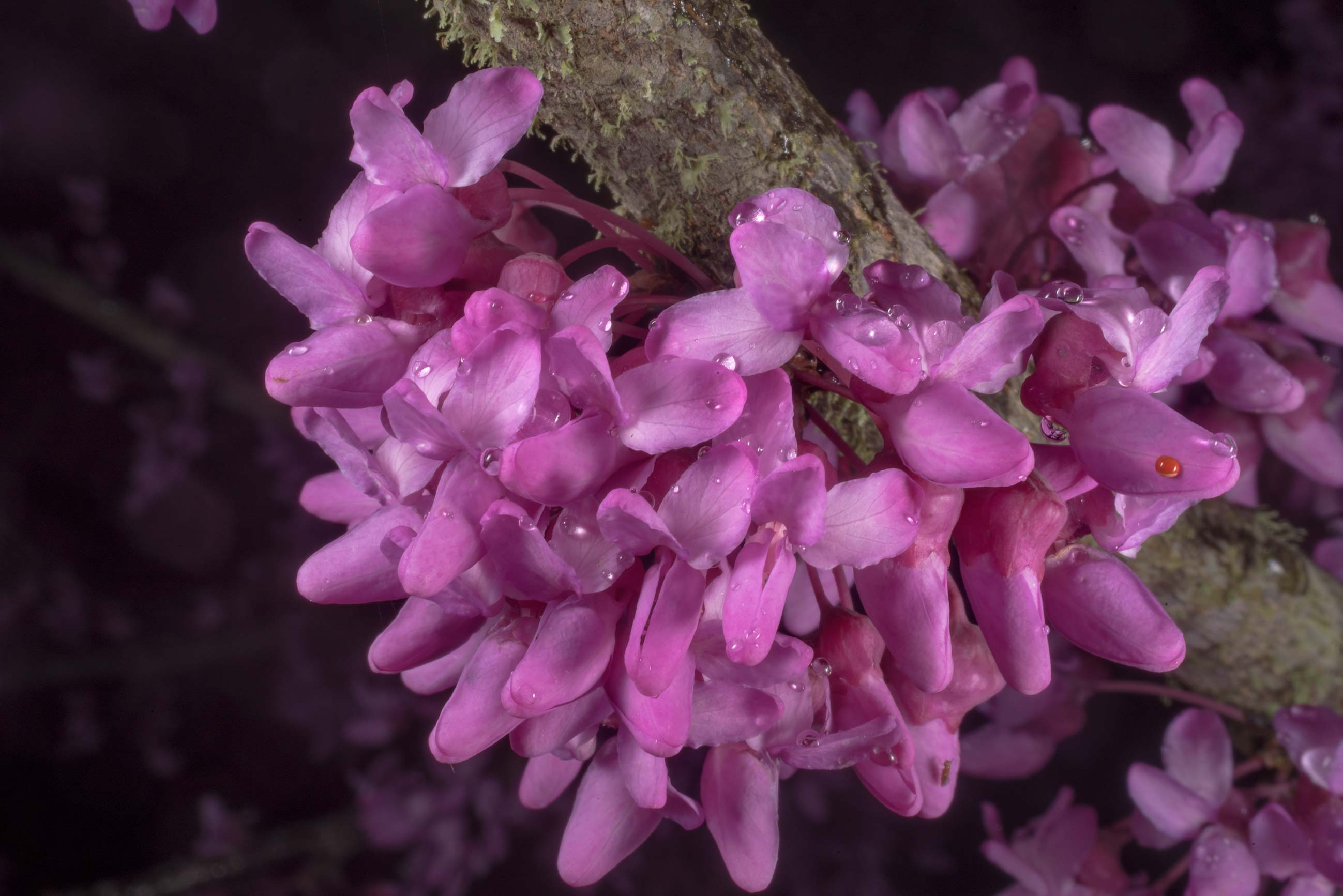 Pink flowers of redbud tree (Cercis canadensis...State Historic Site. Washington, Texas