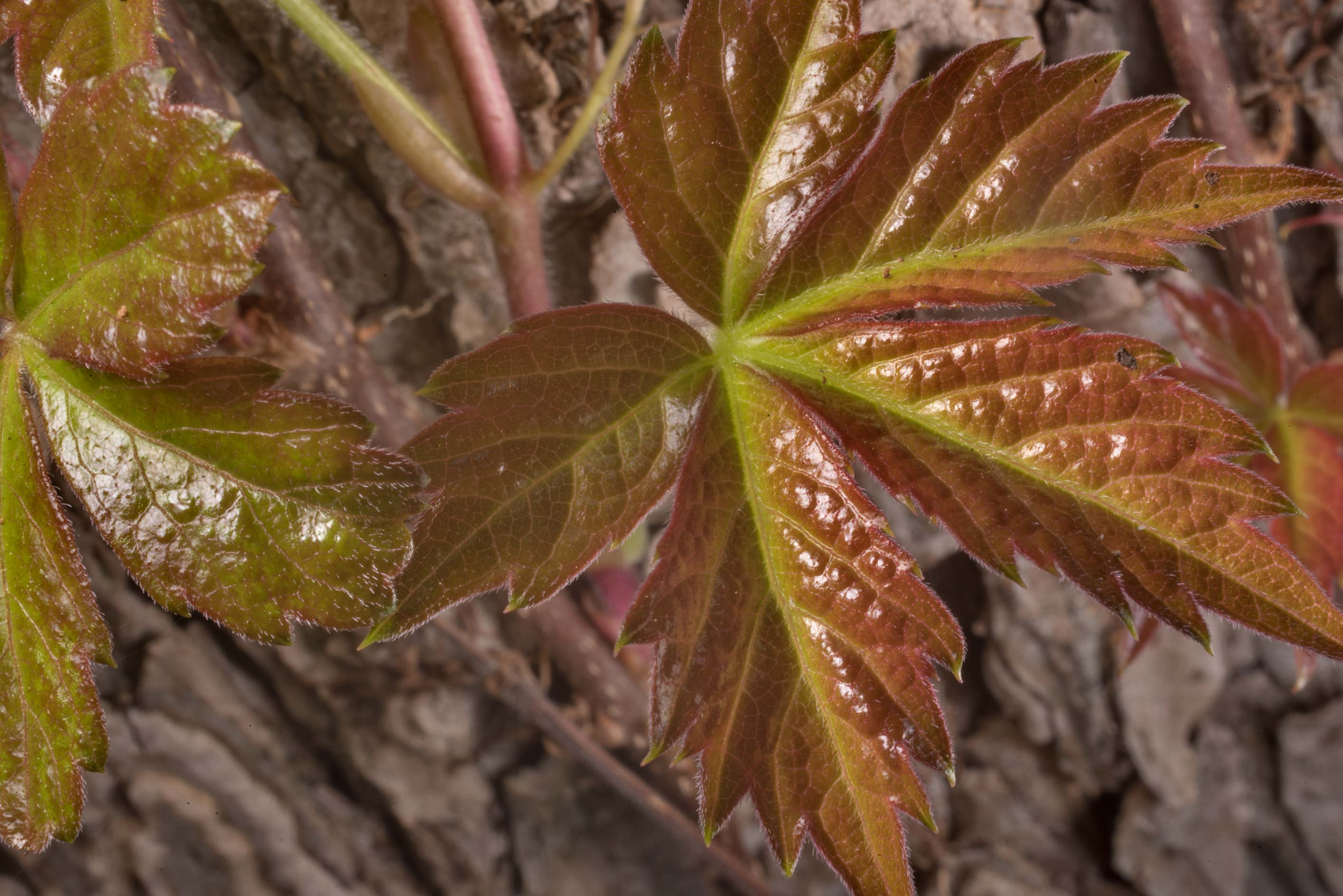 Copper-colored young leaves of Virginia creeper...Roughs Nature Park near Austin. Texas