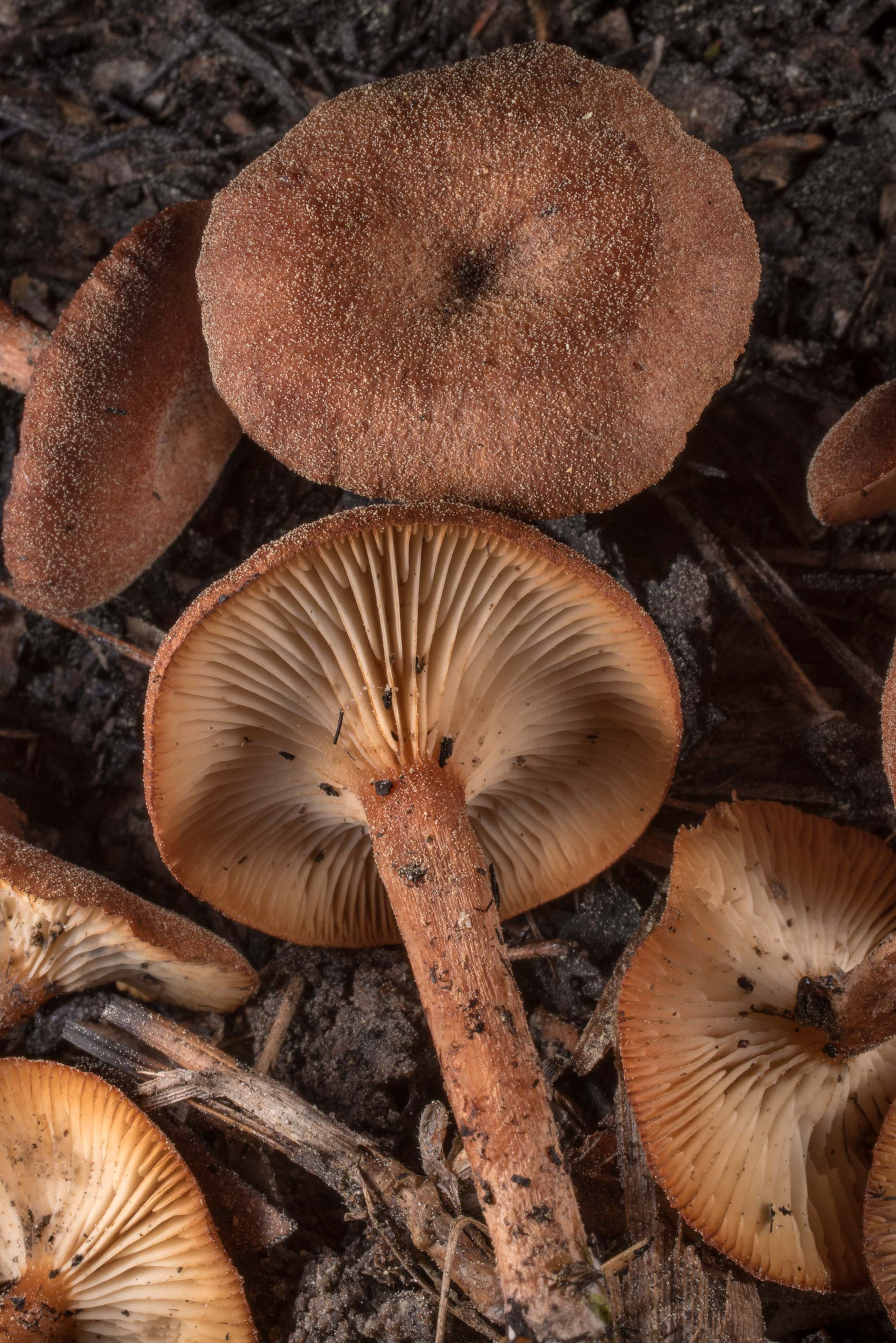 Close-up of brick-red Clitocybe mushrooms...in Sam Houston National Forest. Texas