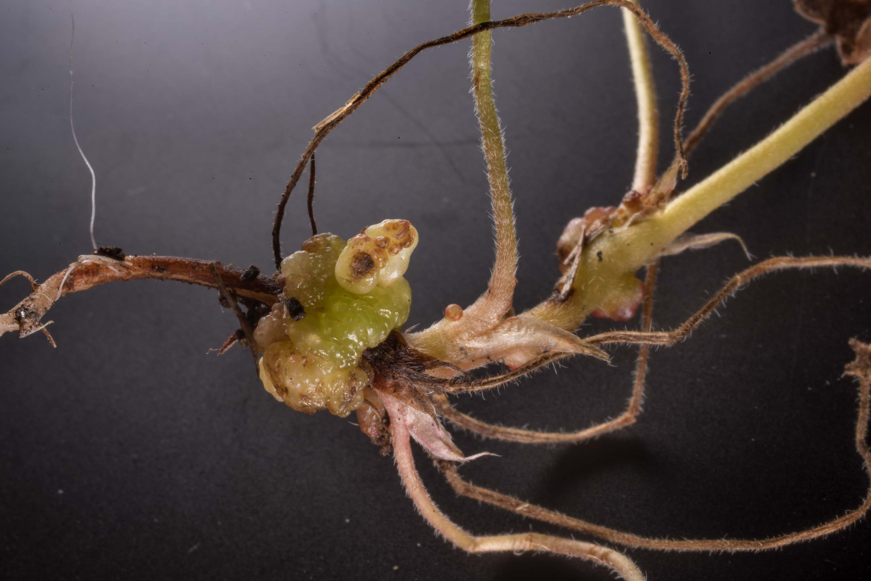Gall on roots of crane's bill (Geranium...Bee Creek Park. College Station, Texas