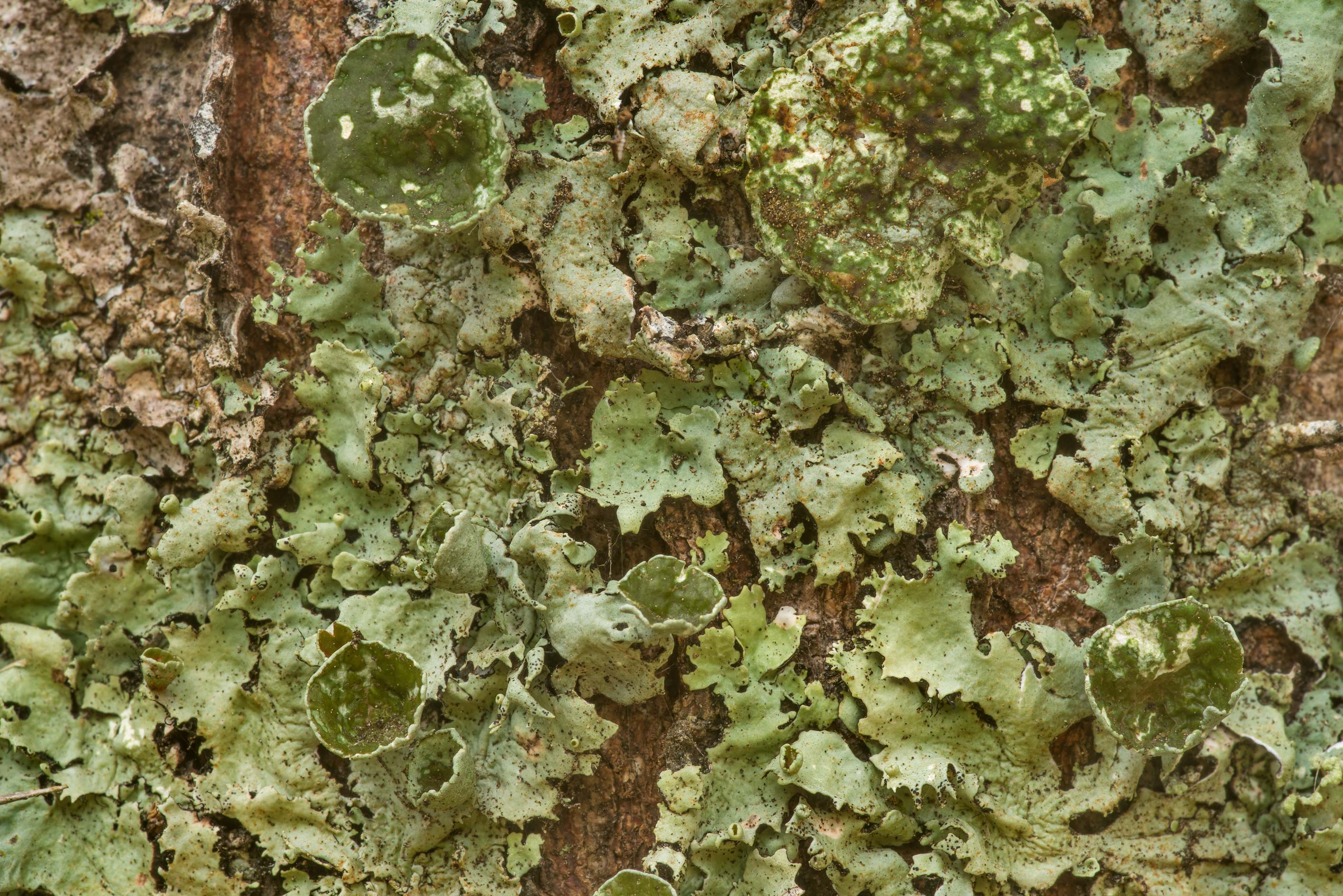 Old perforated ruffle lichen (Parmotrema...Creek Park. College Station, Texas